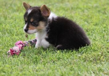 xPembroke Welsh Corgi - Post Local Ads Backpage