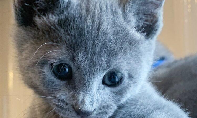 Stunning Russian Blue Kittens Flake Ads Free Ads United Kingdom
